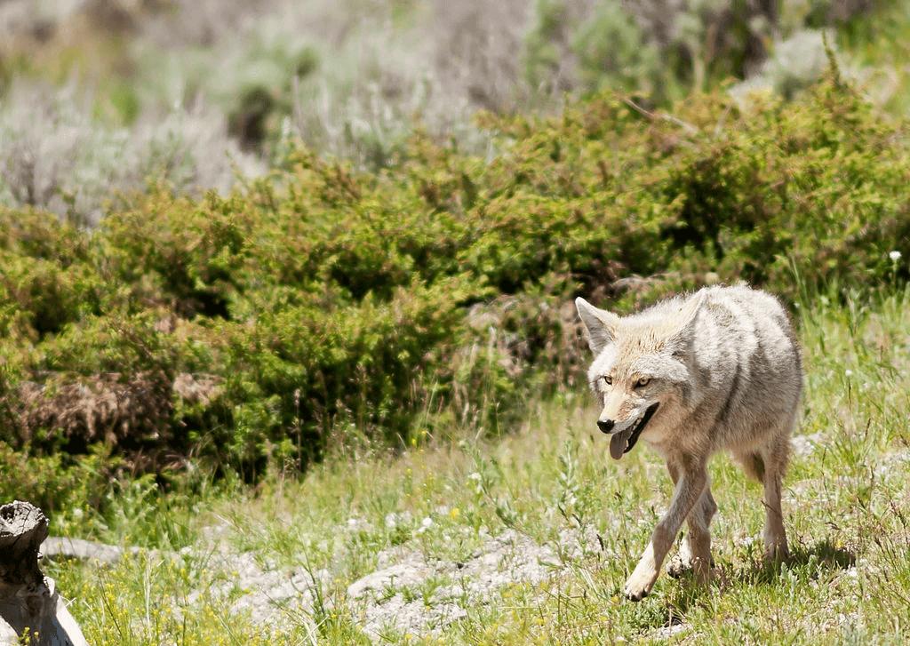 coyote in jungle